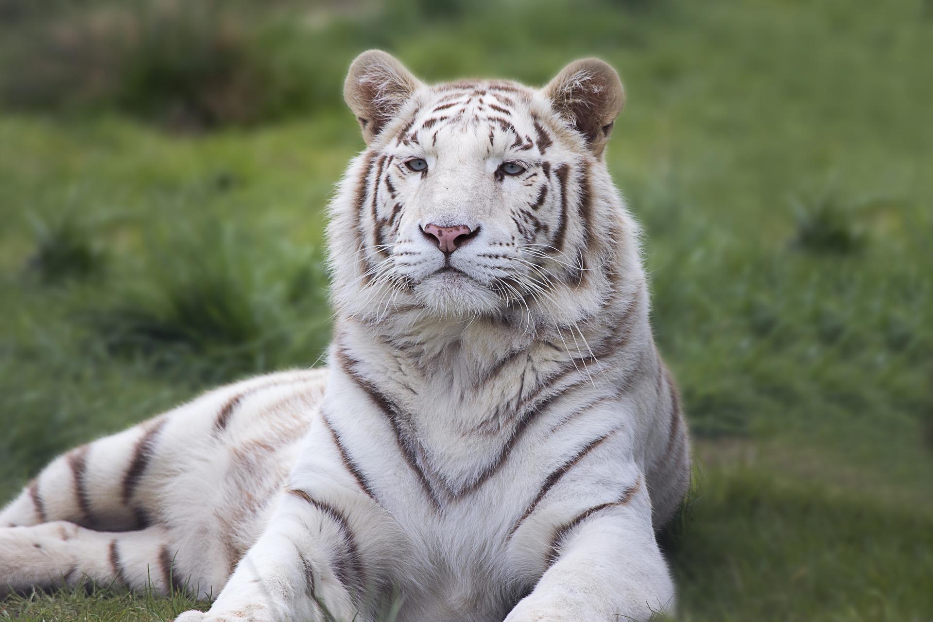 Bijeli bengalski tigar